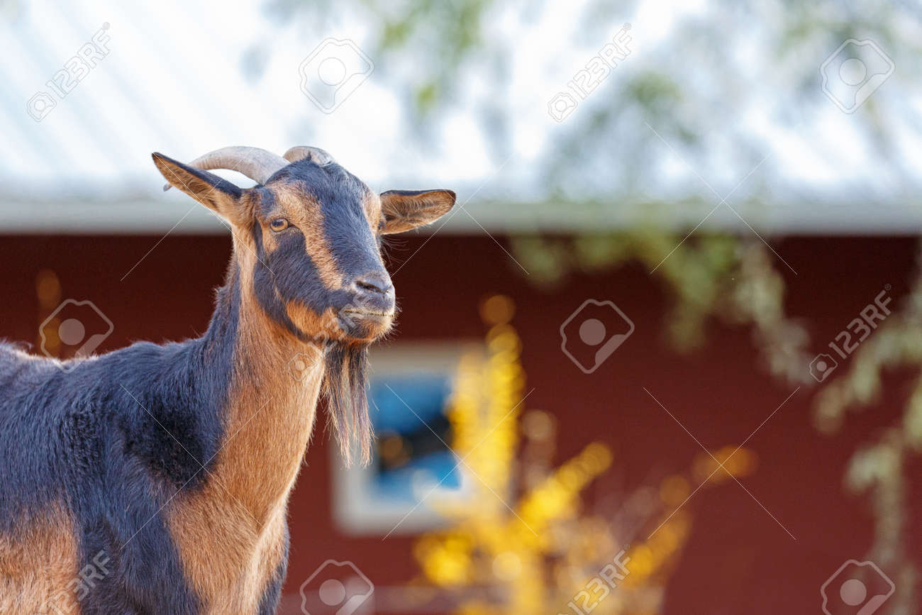San Clemente goat closeup with copy space in blurred background
