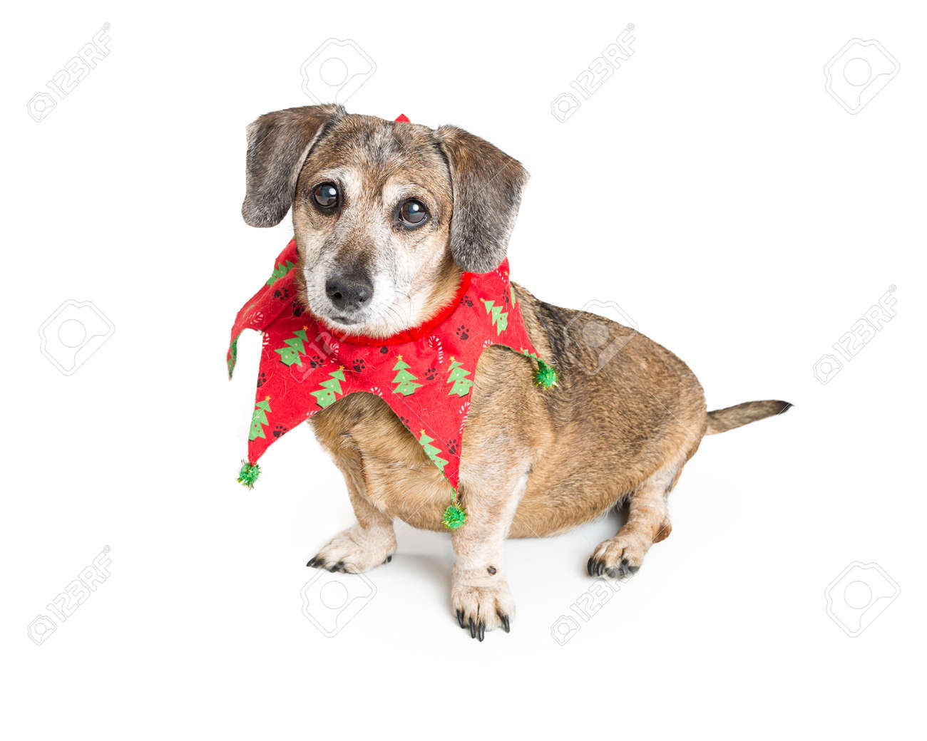 Cute Chihuahua Mixed Breed Dog Wearing Red And Green Christmas