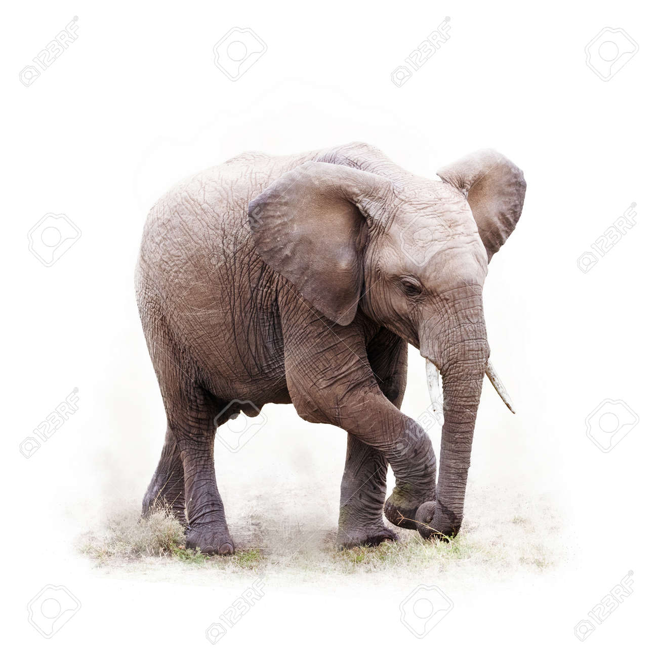 Baby African elephant walking. Isoalted on white with square crop. - 94258285