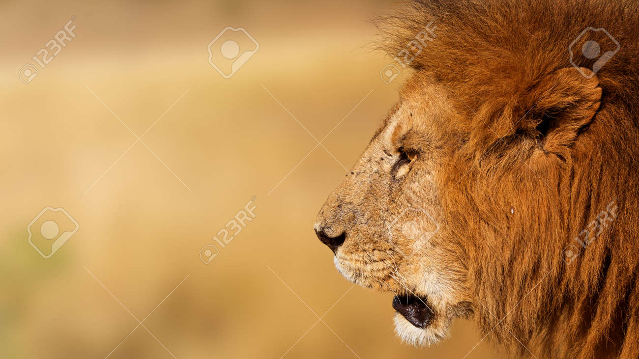 Closeup Side View Of The Face Of A Male African Lion With Copy ...