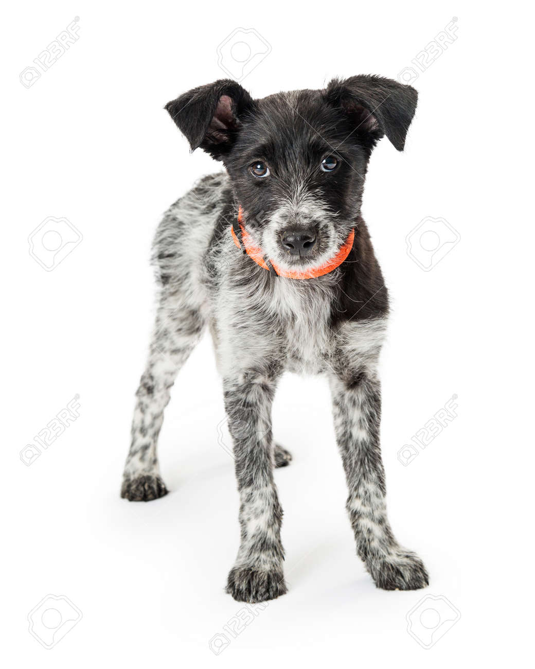 Old Fashioned Wirehaired Fox Terrier Puppies Embellishment - Simple ...