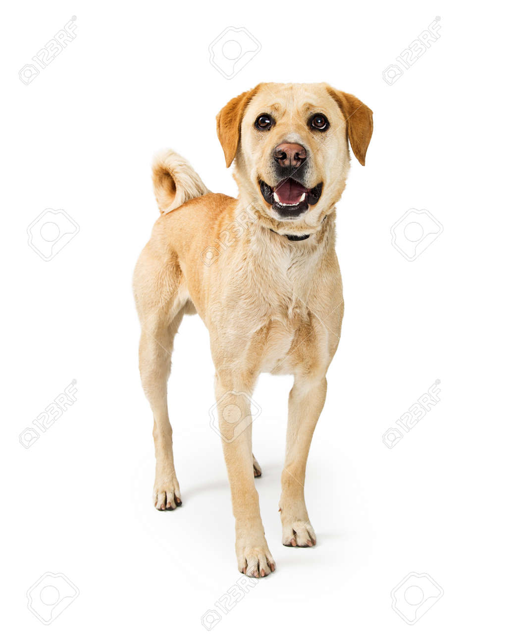 Happy and smiling medium size Labrador Retriever crossbreed dog standing on a white background and looking at camera - 100972219