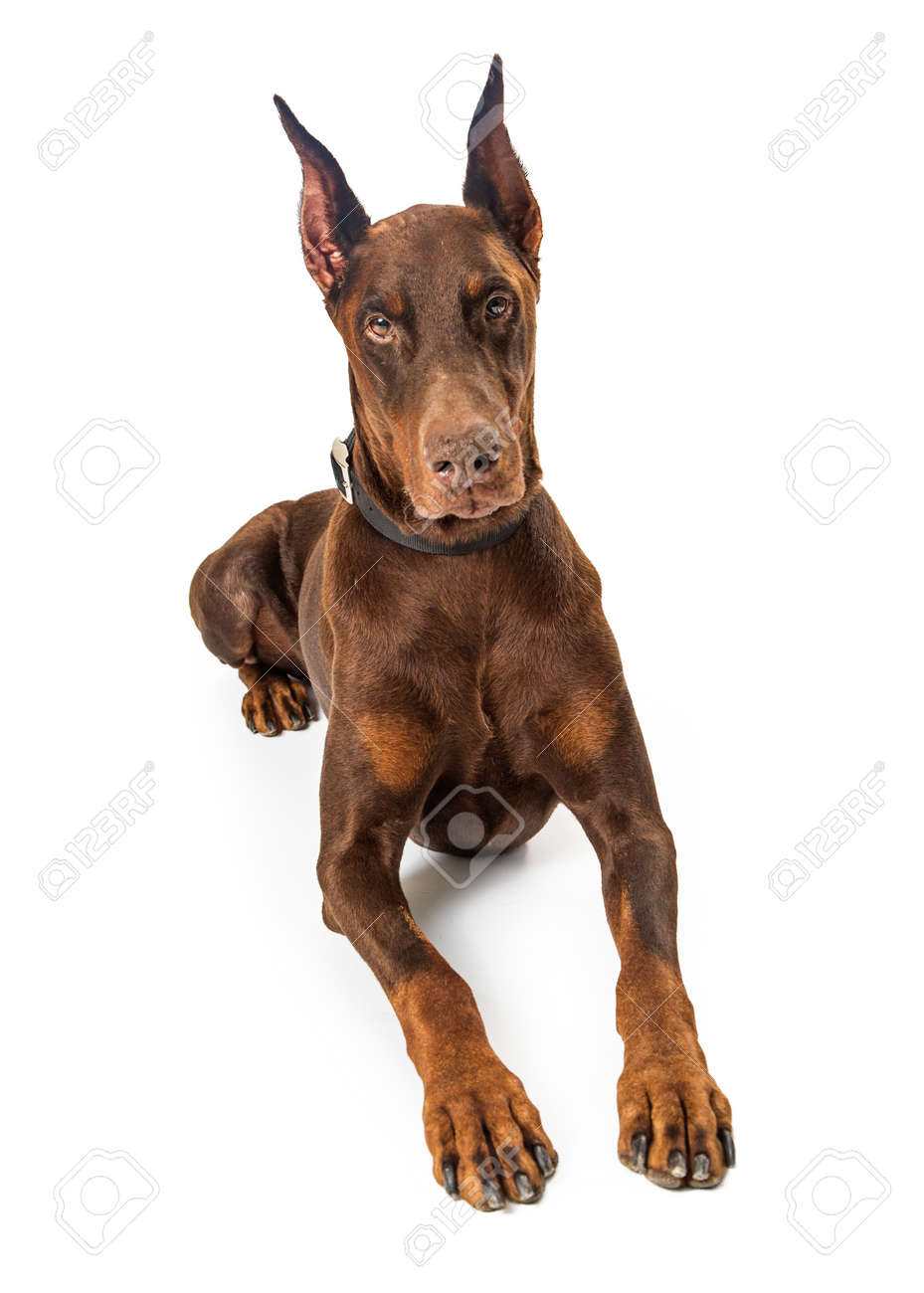 Beautiful Large Purebreed Red Doberman Pinscher Dog Lying Down Stock Photo Picture And Royalty Free Image Image 104569738