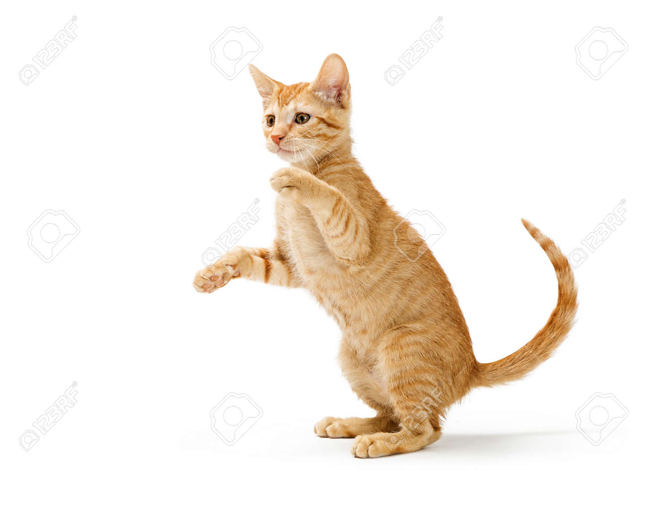 Cute frisky orange striped kitten sitting up raising arms to bat paws and play. Isolated on white. - 122778535