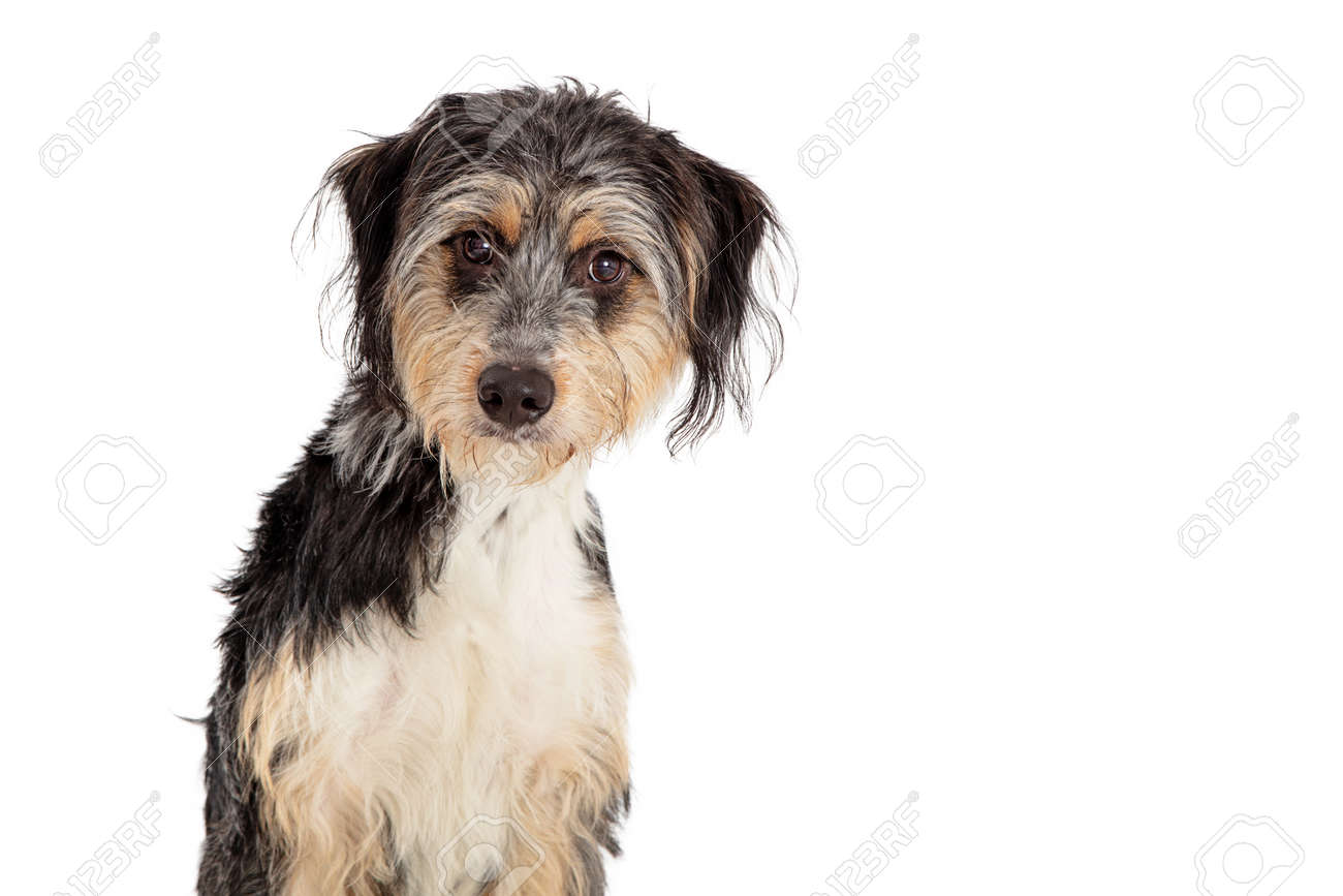 Close Up Cute Shaggy Tri Color Mixed Breed Mini Australian Shepherd Stock Photo Picture And Royalty Free Image Image 141600847