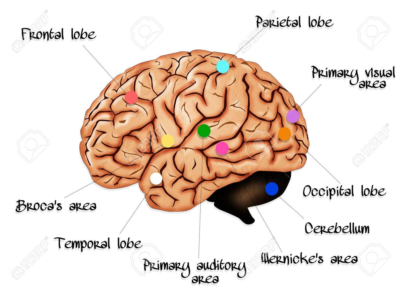 La Anatomía Cerebral Fotos, Retratos, Imágenes Y Fotografía De ...