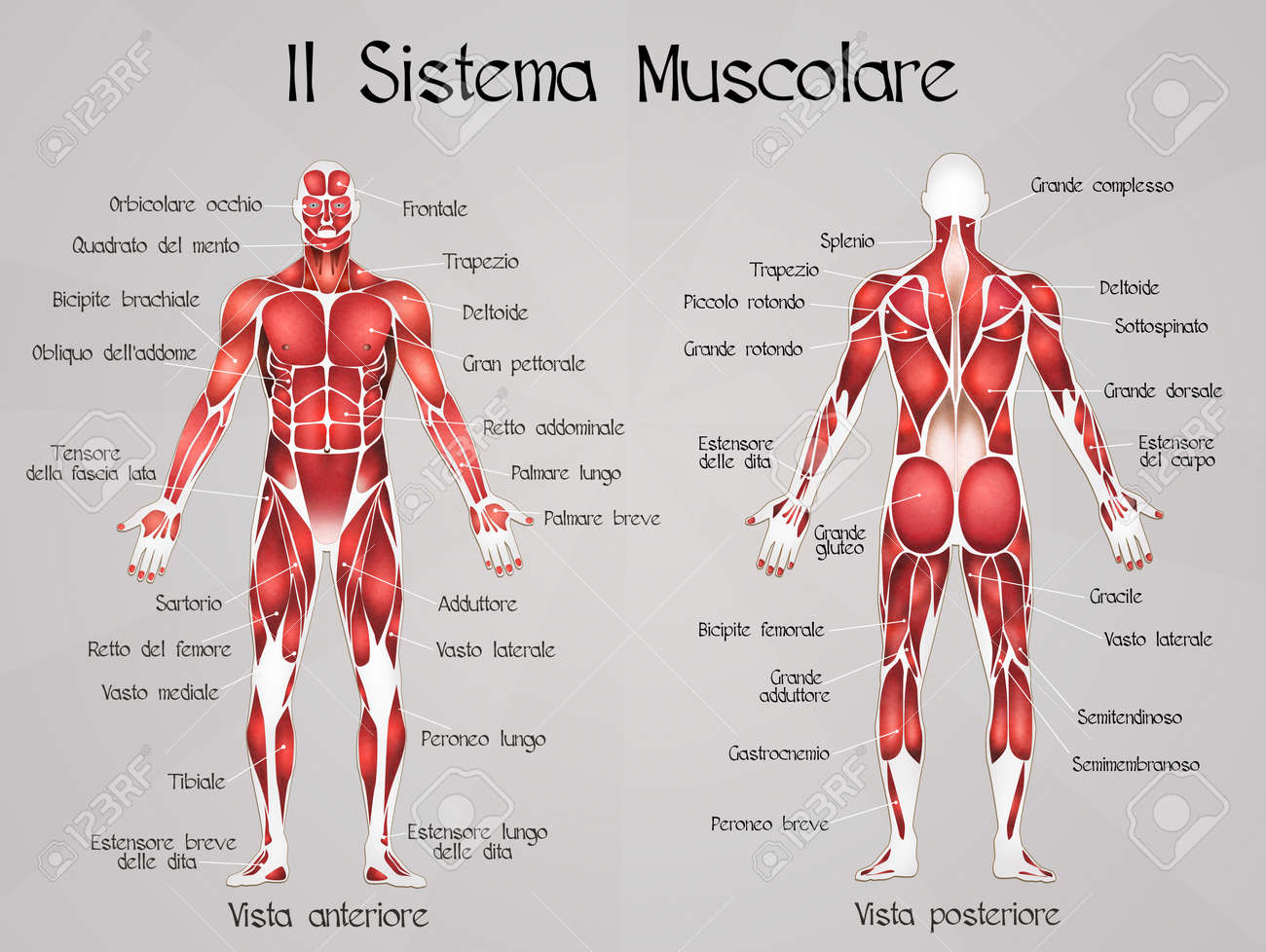 6451 Muscular System Stock Vector Illustration And Royalty Free
