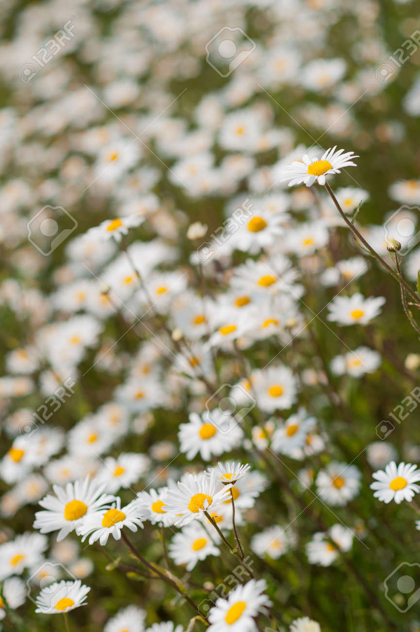 Yellow White Wild Daisy Flowers In Meadow Or Garden With Shallow