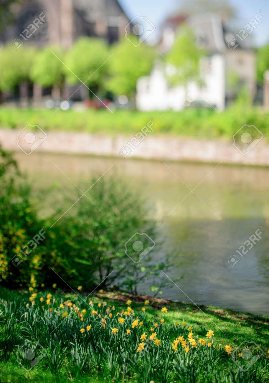 Jonquilles Jaunes Dans Le Jardin Pres D Une Belle Riviere Avec Des