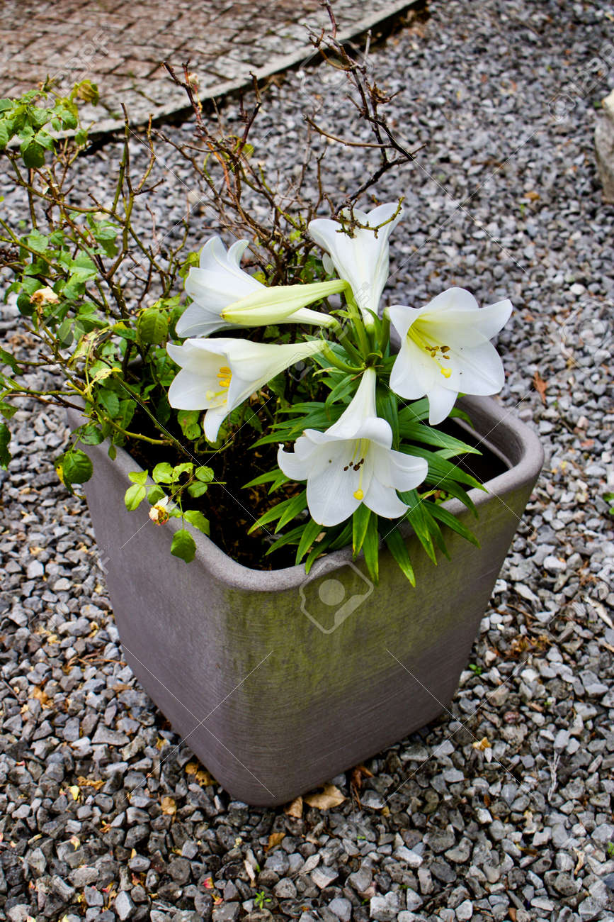 Big white flowers in grey pot garden natural concept near stones big white flowers in grey pot garden natural concept near stones stock photo mightylinksfo