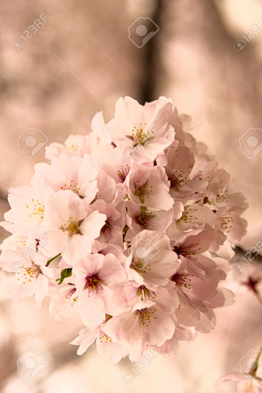 Spring flowers in japan are cherry blossoms stock photo picture and spring flowers in japan are cherry blossoms stock photo 87593737 mightylinksfo