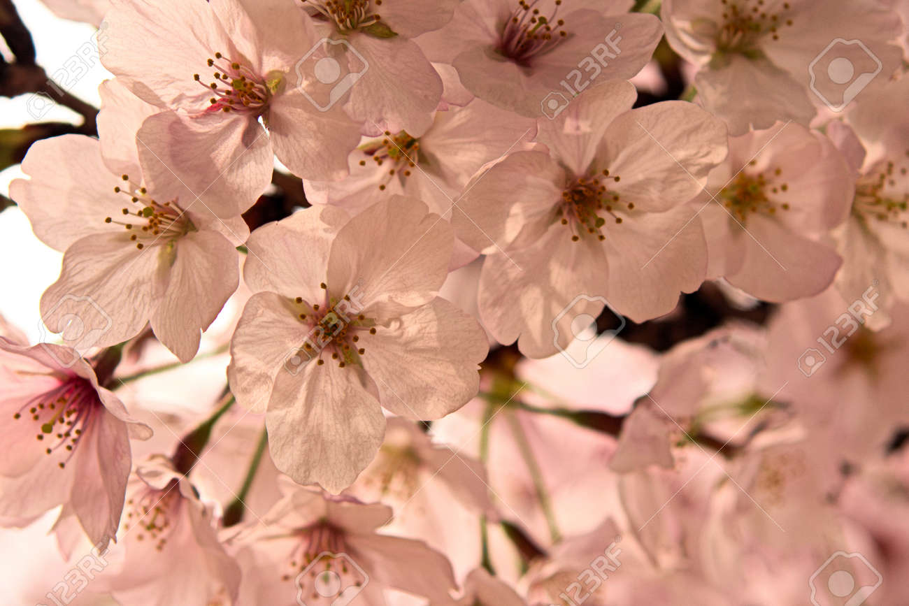 Spring flowers in japan are cherry blossoms stock photo picture and spring flowers in japan are cherry blossoms stock photo 87423870 mightylinksfo