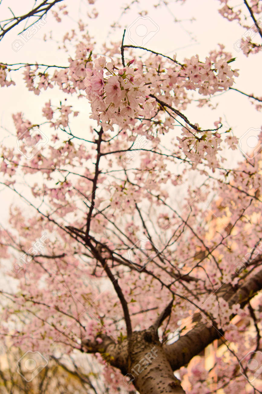 Spring Flowers In Japan Are Cherry Blossoms Stock Photo Picture And