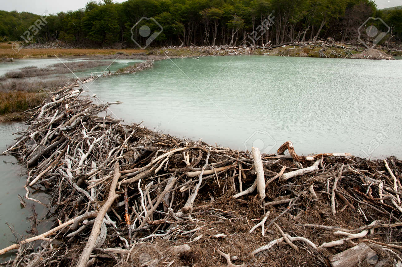 beaver dam tierra del fuego argentina stock photo, picture and Wood Dam beaver dam tierra del fuego argentina stock photo 54531452