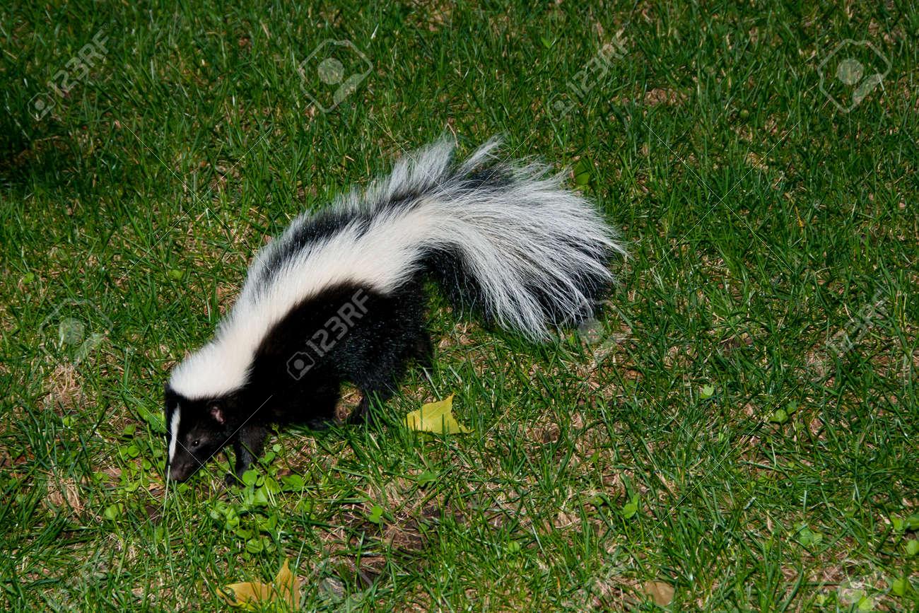 Skunk In Backyard Stock Photo   61016481