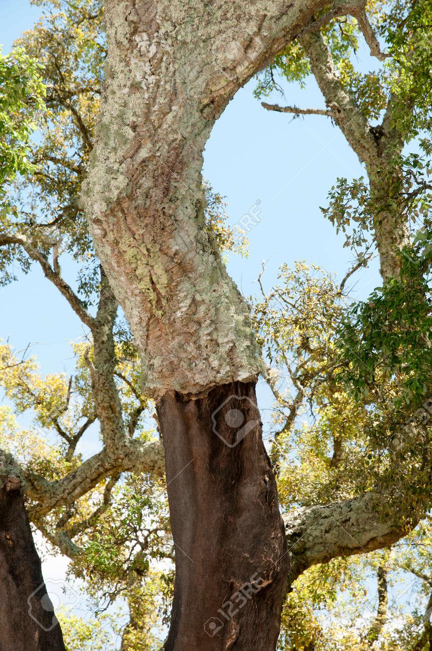 コルクガシの木 の写真素材・画...