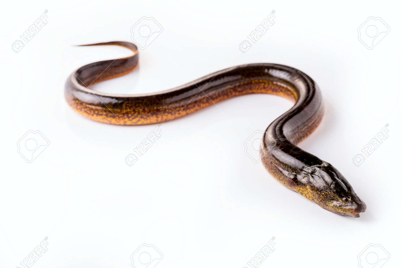 Long eel on a white background - 68812745