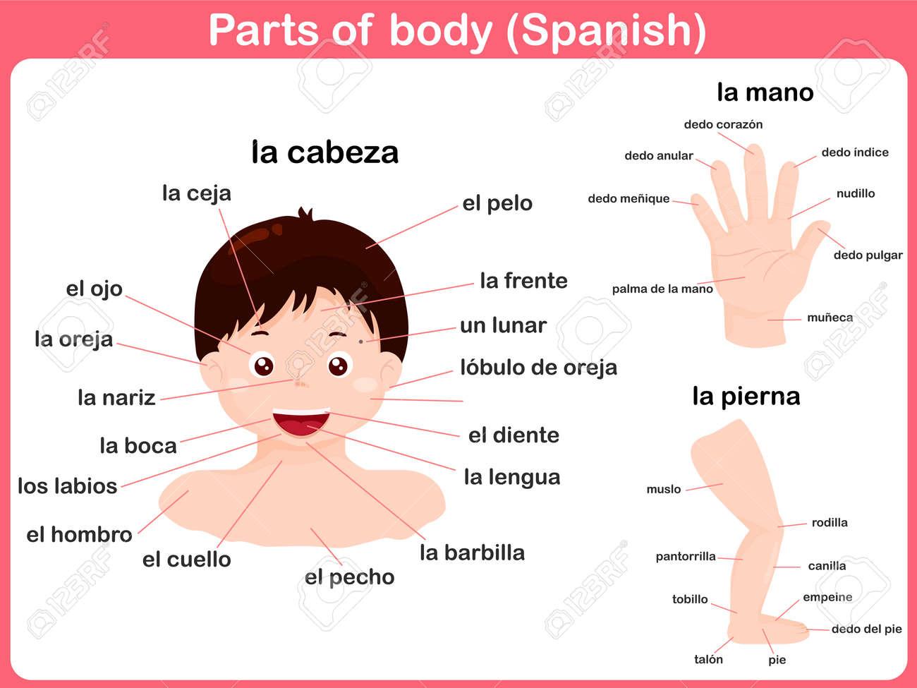 Partes Del Cuerpo - En Español Ilustraciones Vectoriales, Clip Art ...