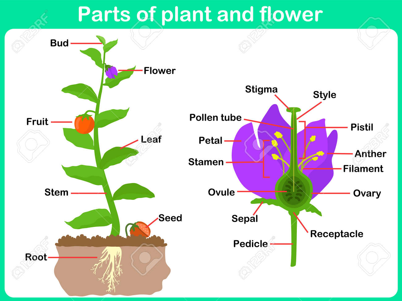worksheet Parts Of The Flower Worksheet leaning parts of plant and flower for kids worksheet royalty stock vector 35185398