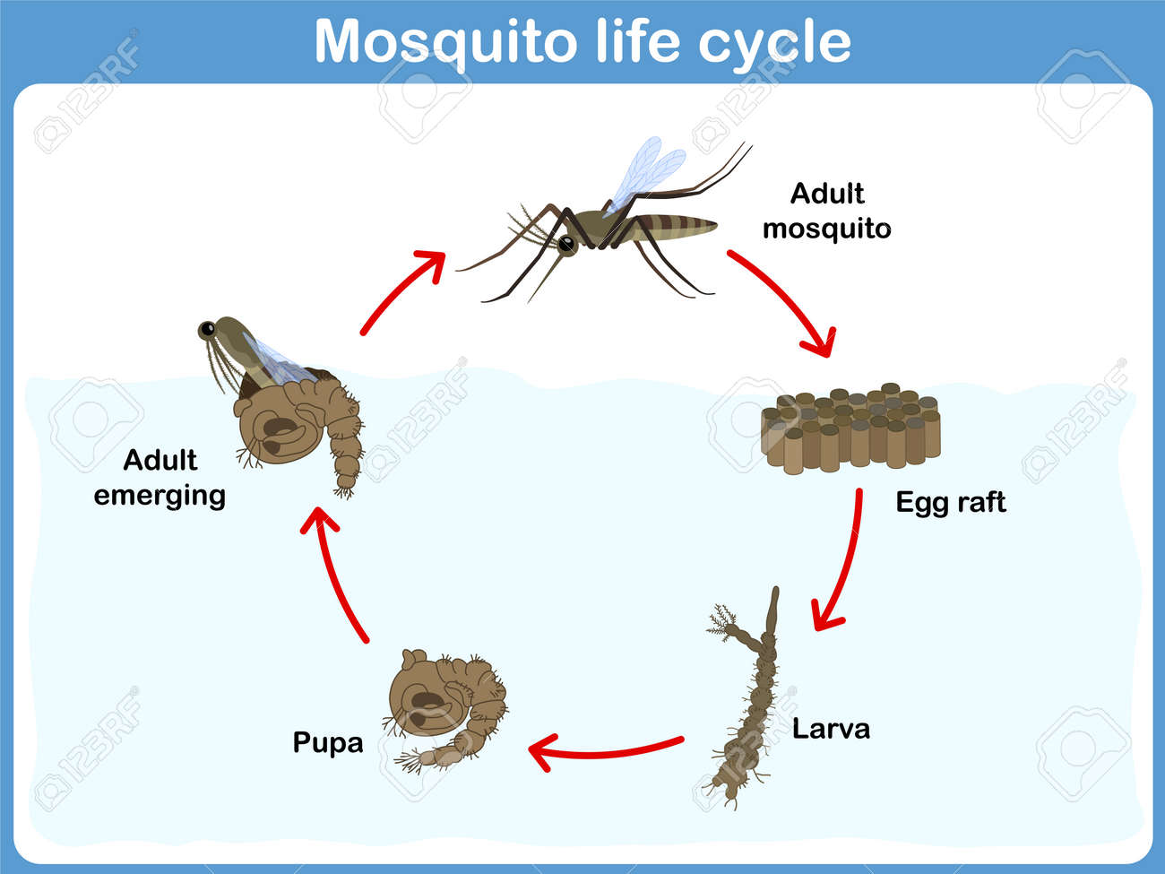 Larva stock photos royalty free business images vector cycle of mosquito for kids pooptronica Gallery