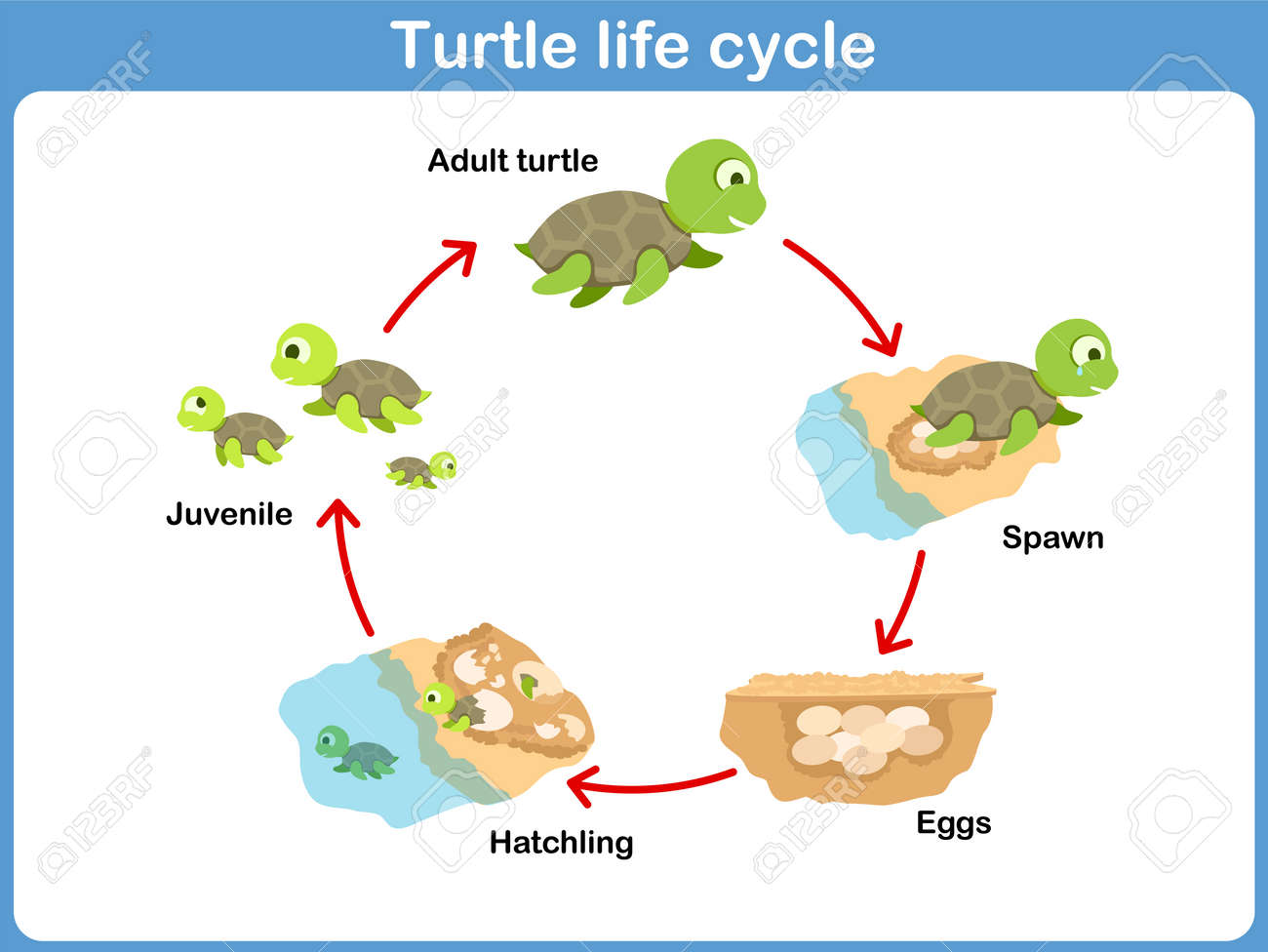 Vector Cycle Of Turtle For Kids Royalty Free Cliparts, Vectors ...