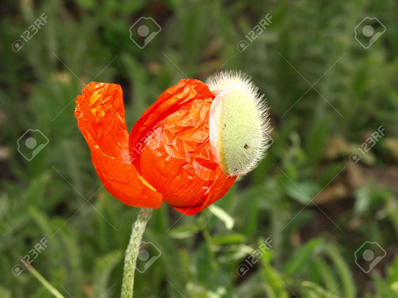 Birth Of Poppy Flower The First Day Of Flowering Stock Photo