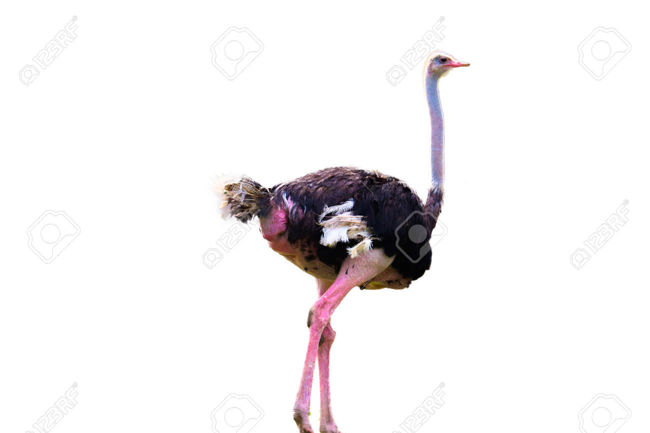 ostrich isolated on white background - 124138499