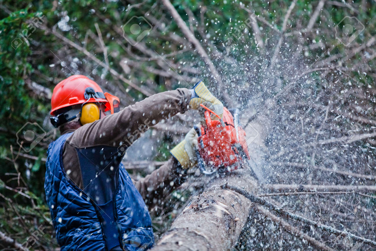 Professional Lumberjack Cutting a big Tree in the Forest during the Winter - 26652814