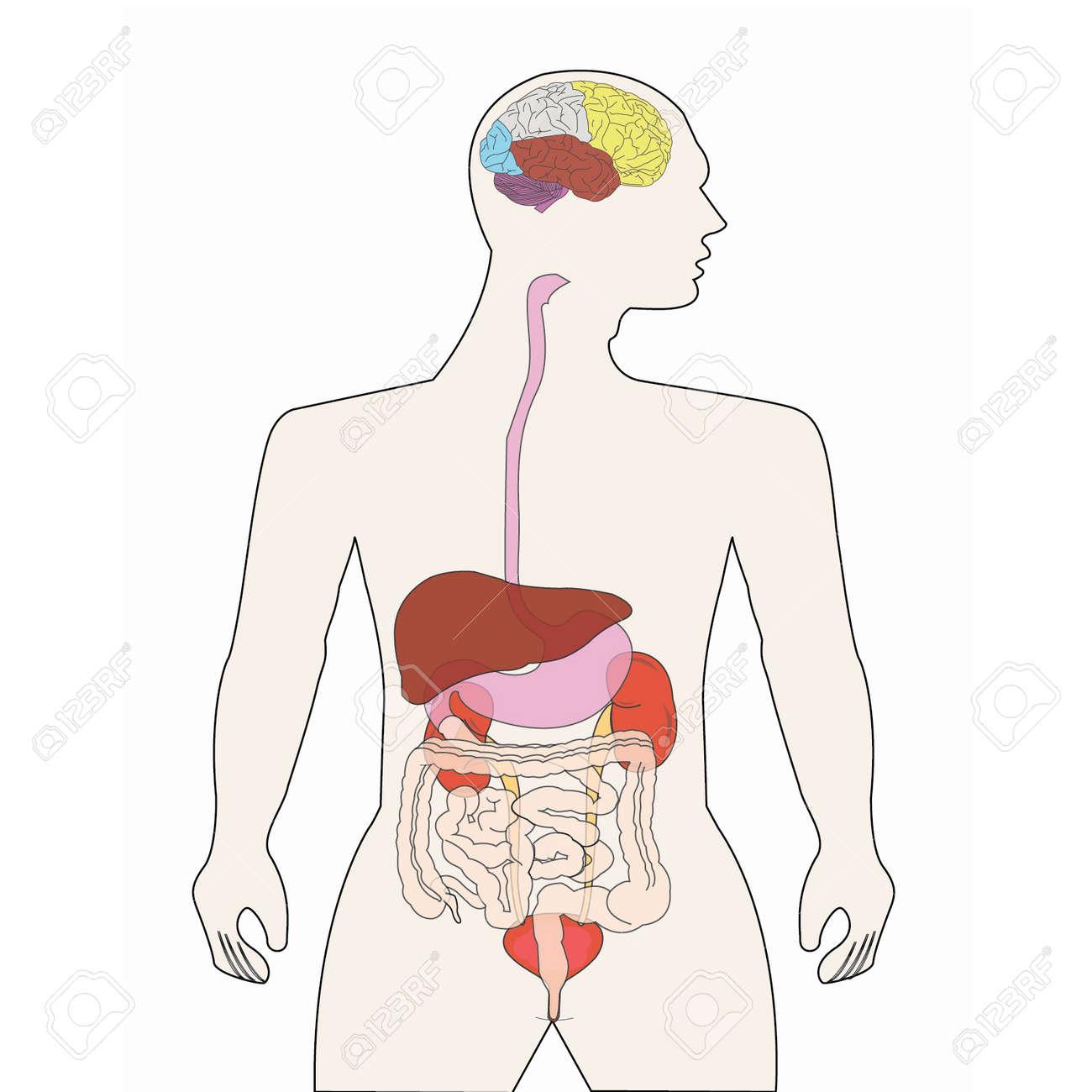 人体の器官 ロイヤリティフリークリップアート、ベクター、ストック