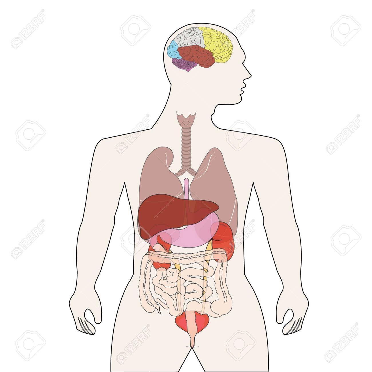 Menschlichen Körper Organe Lizenzfrei Nutzbare Vektorgrafiken, Clip ...