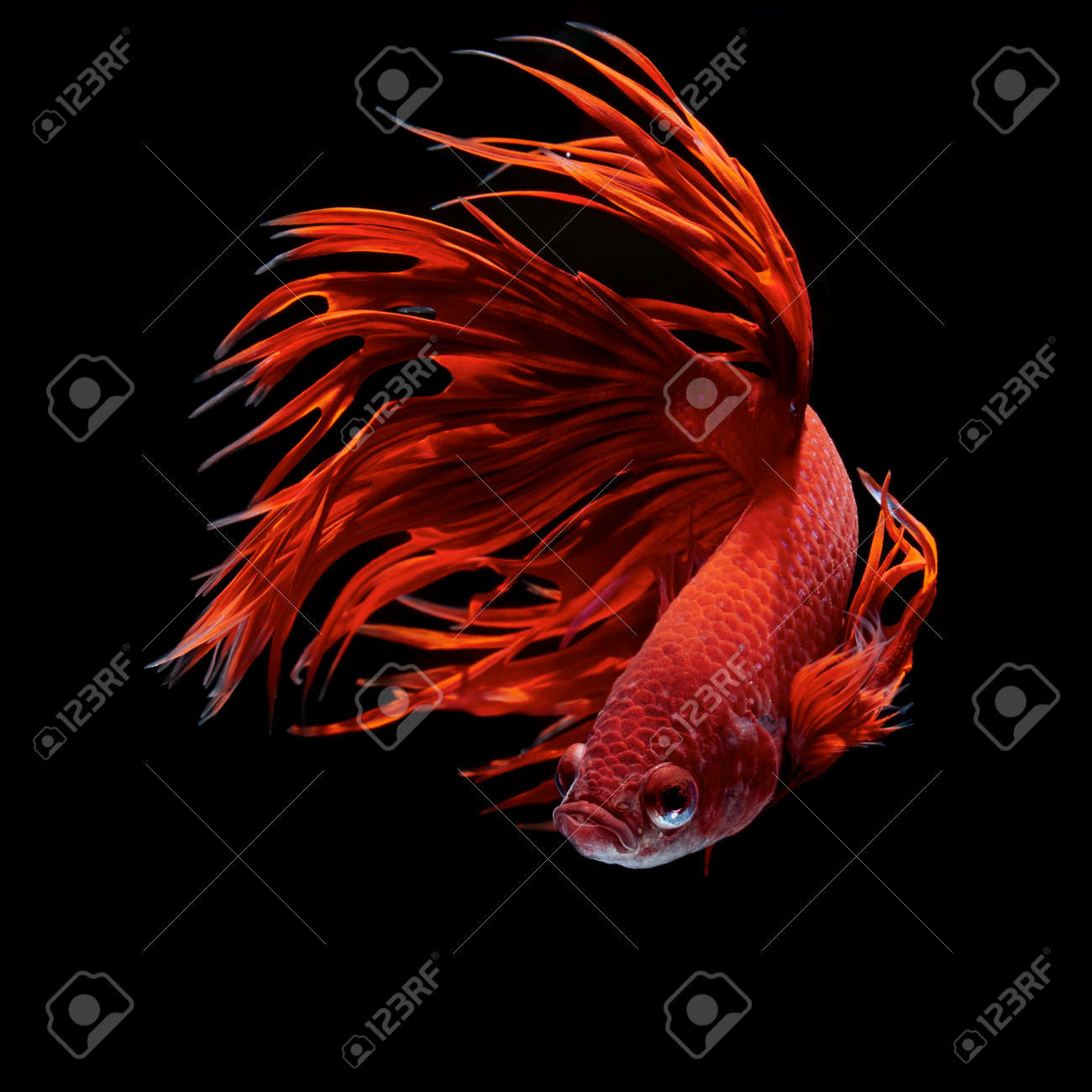 Betta Stock Photos. Royalty Free Betta Images