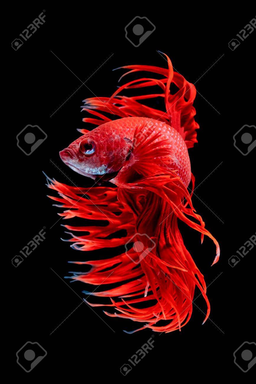 Betta Fish, Siamese Fighting Fish, Betta Splendens Isolated.. Stock ...