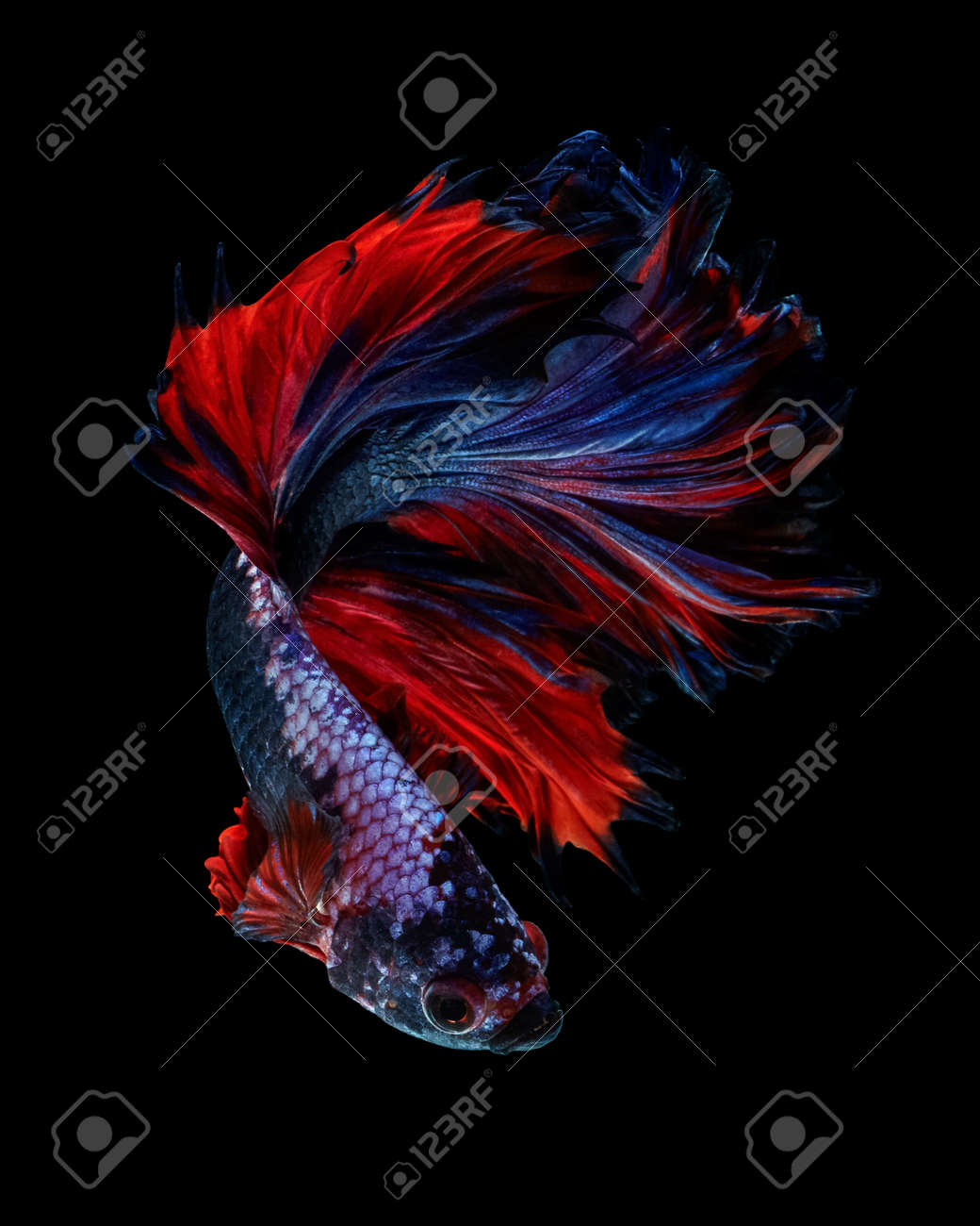Power Color Betta Fish \