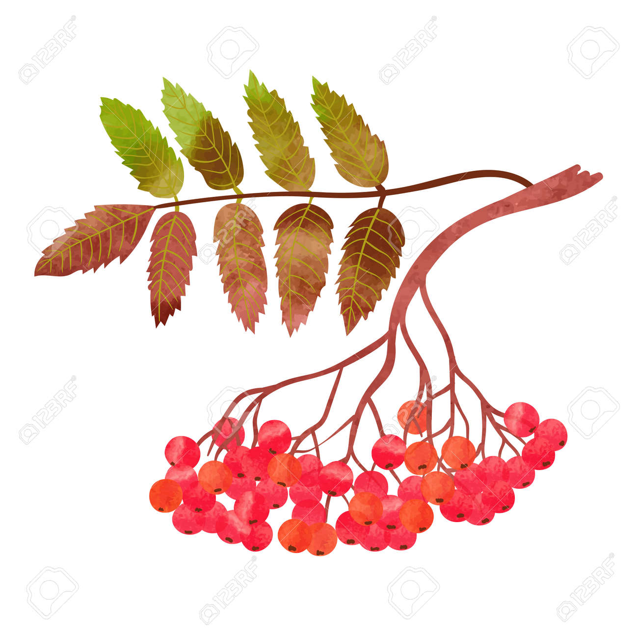 Watercolor rowan branch with berries isolated on white background. Vector illustration. - 66325726