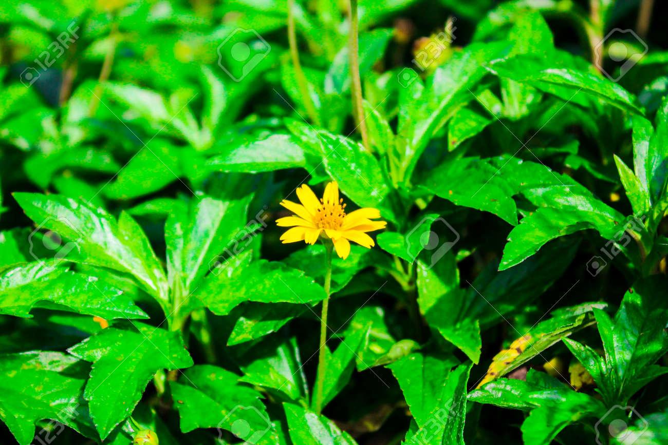 acmella  Acmella Oleracea. Spilanthes Acmella, Toothache Plant, Paracress ...