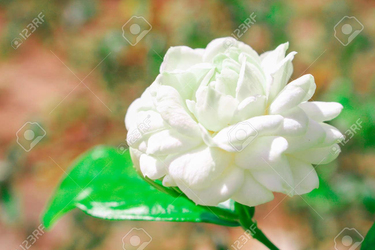 Arabian jasmine flower with leaves on nature background stock photo arabian jasmine flower with leaves on nature background stock photo 32039550 izmirmasajfo
