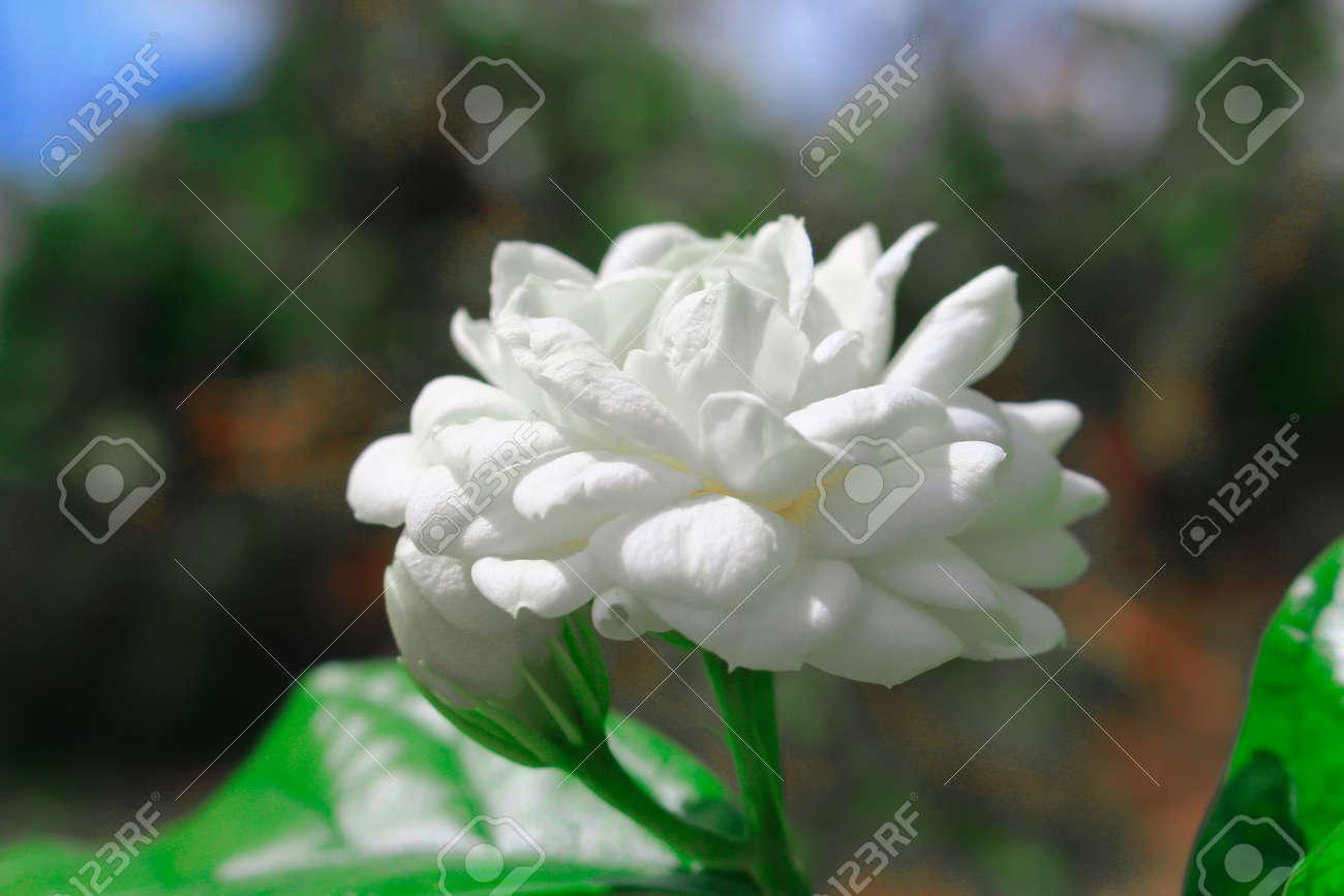 Arabian Jasmine Flower With Leaves On Nature Background Stock Photo