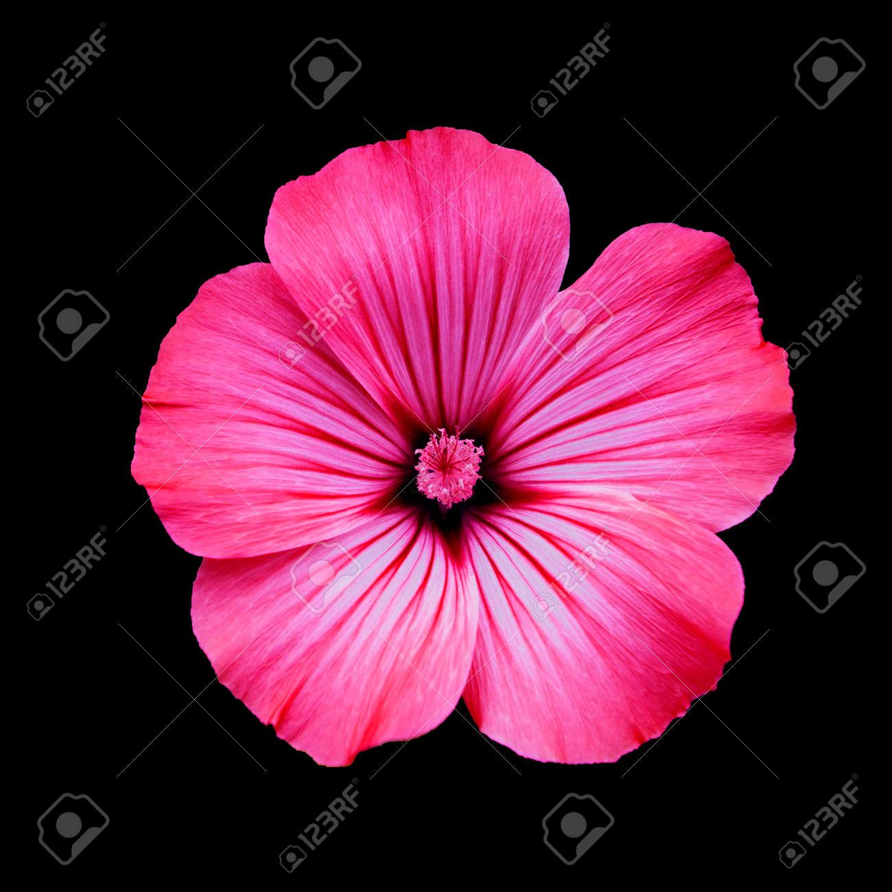 Immagini Stock Fiore Lavatera Rosso Isolato Sfondo Nero Macro