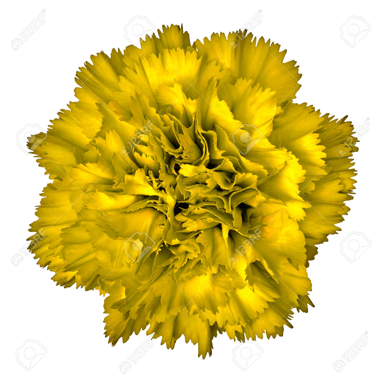 Yellow Carnation Flower Isolated On White Background Close Up