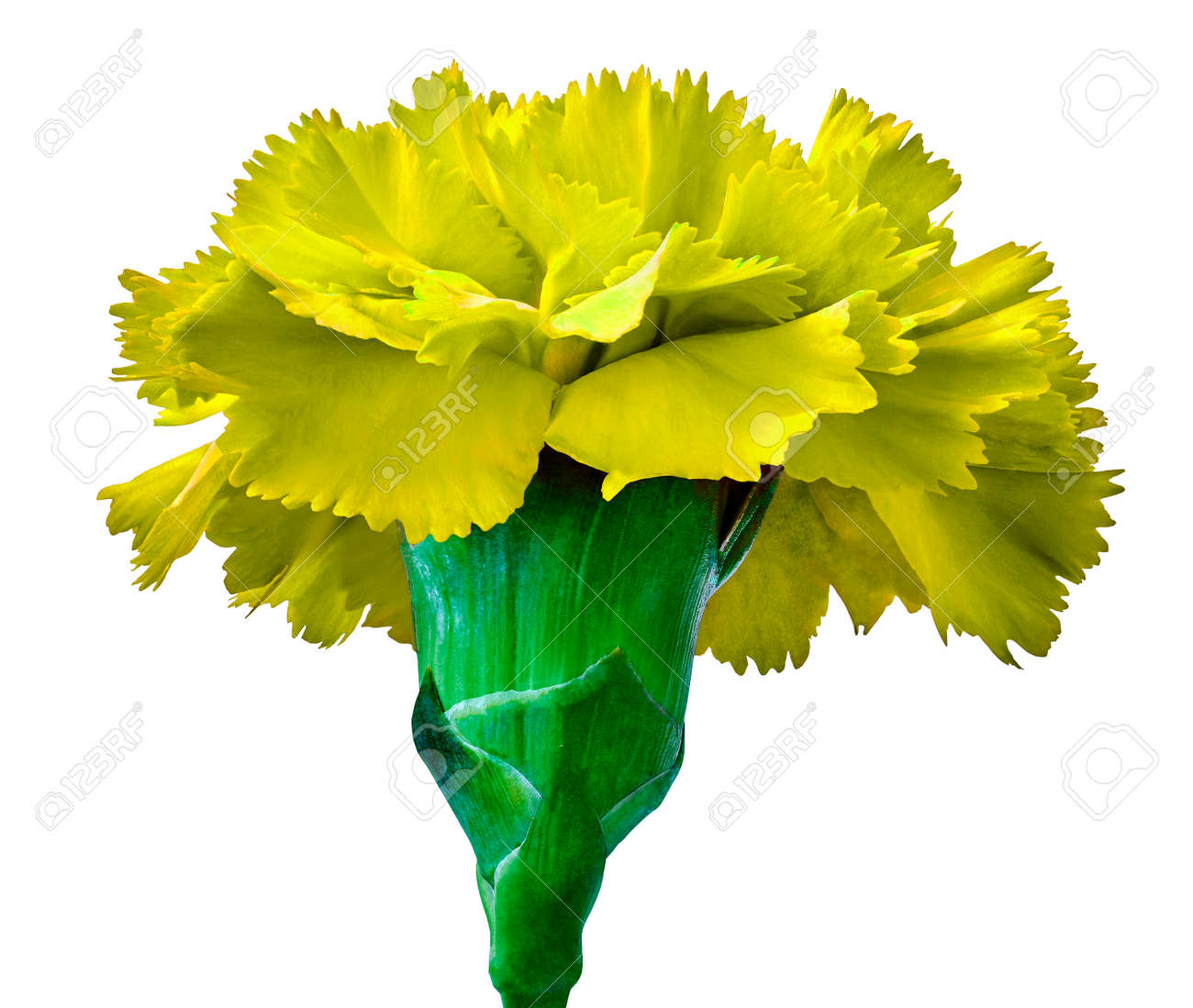 Yellow Carnation Flower Isolated On A White Background Close Up