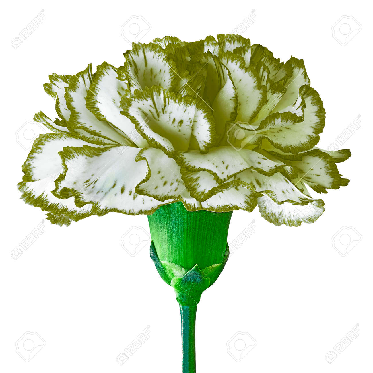 Asparagus (green) White Carnation Flower Isolated On A White.. Stock ...