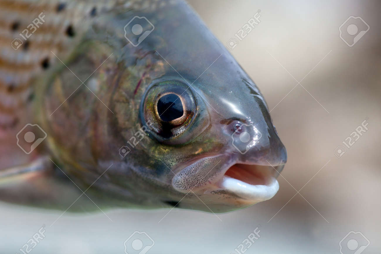 Arctic grayling or trout close immediately after it caught in the river Stock Photo - 16872838