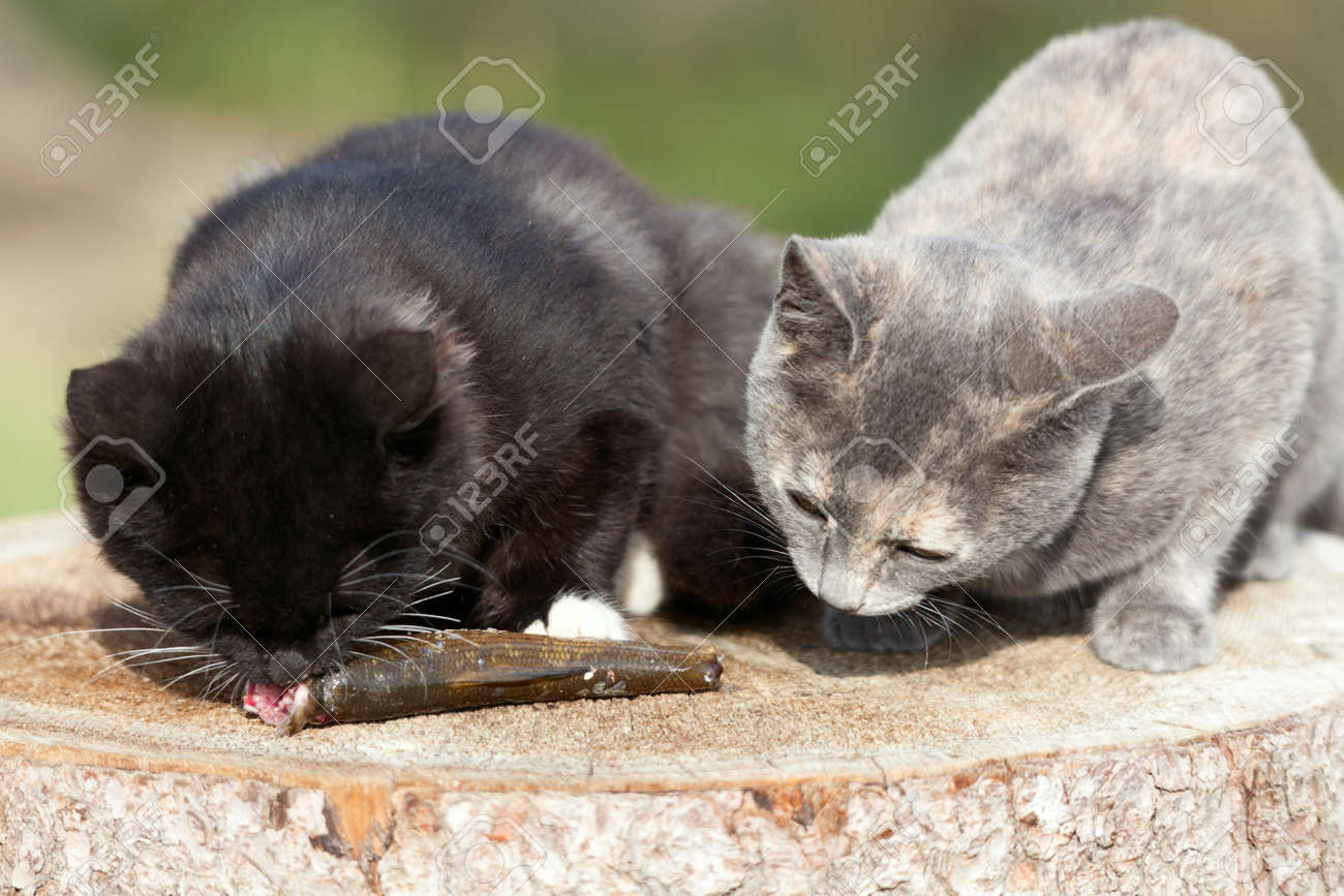 Two kittens eat fresh fish. Stock Photo - 17656969
