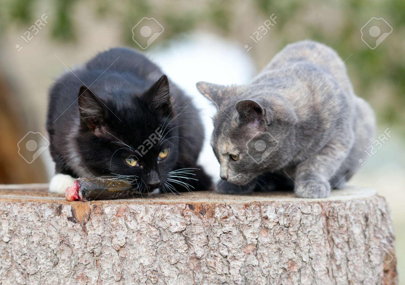 Two kittens eat fresh fish. Stock Photo - 17653448