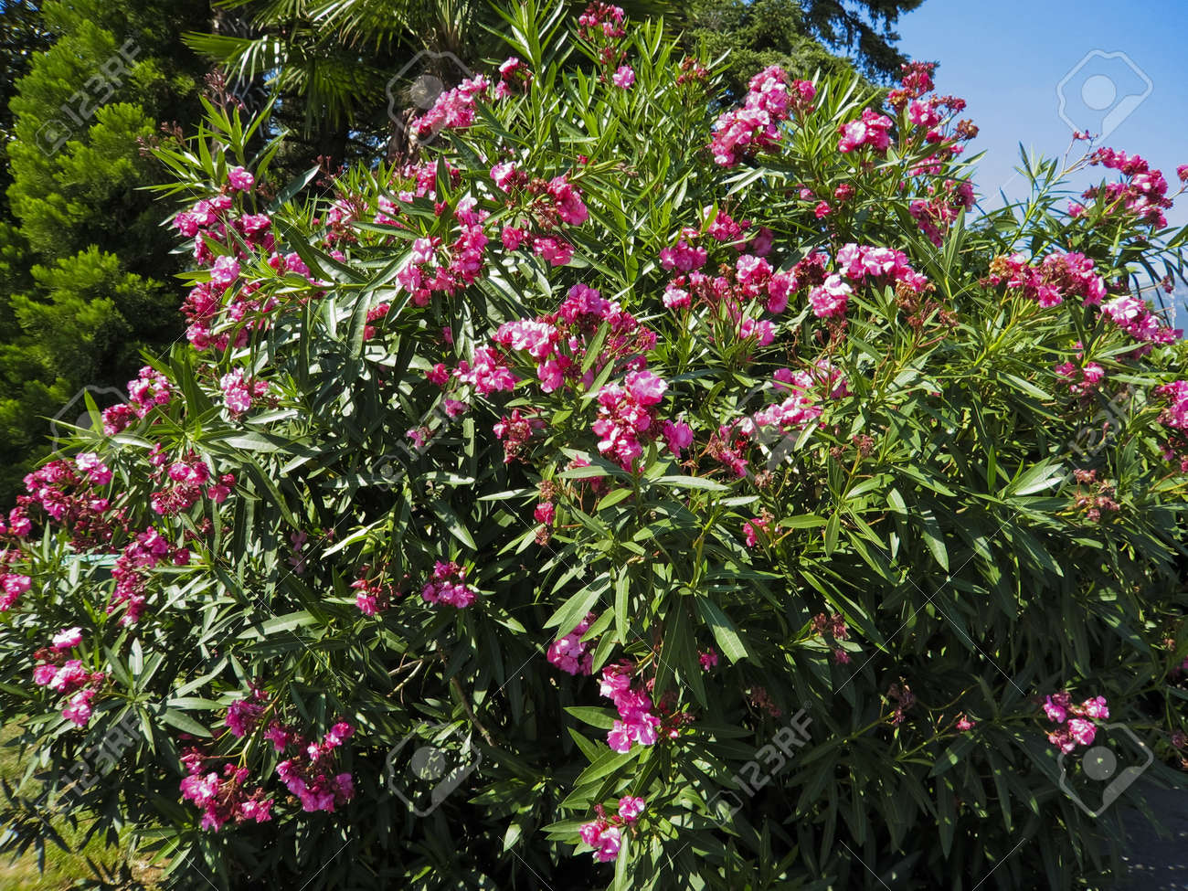 Shrub of pink oleander in blossom with flowers stock photo picture shrub of pink oleander in blossom with flowers stock photo 12956373 mightylinksfo