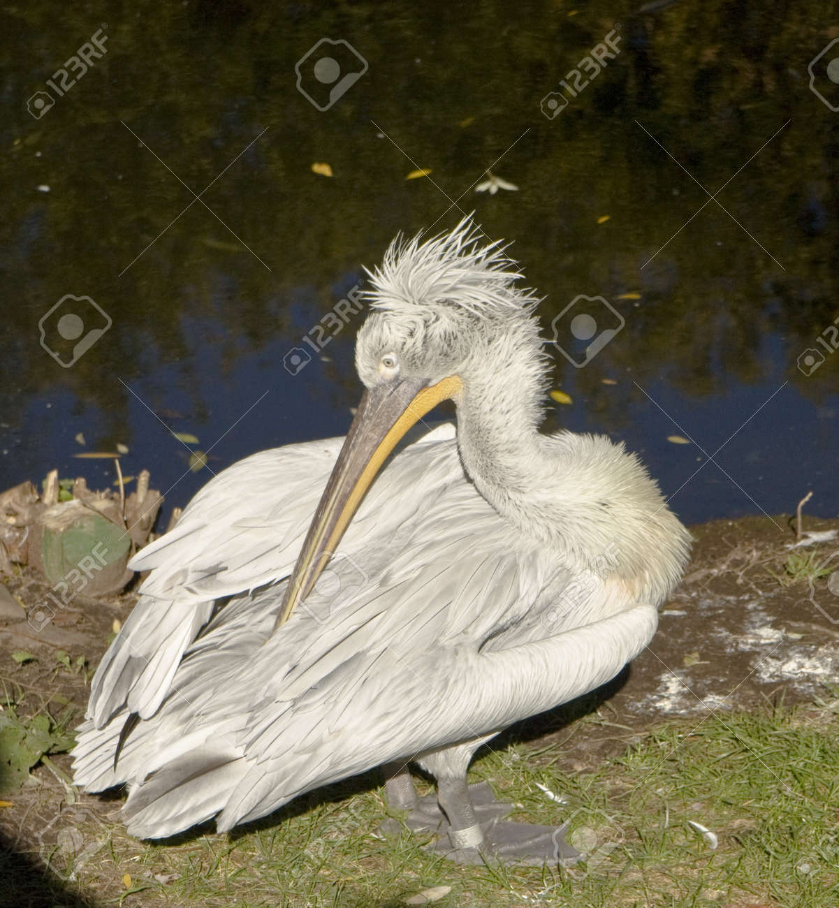Bird white pelican, recorded in Moscow zoo. Stock Photo - 13067977