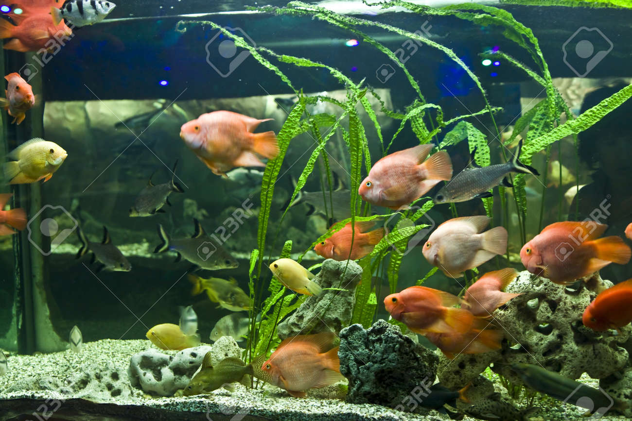 Freshwater aquarium fish names and pictures - Fishes Parrot Latin Name Scaridae Recorded In Aquarium In Town Yevpatoria In