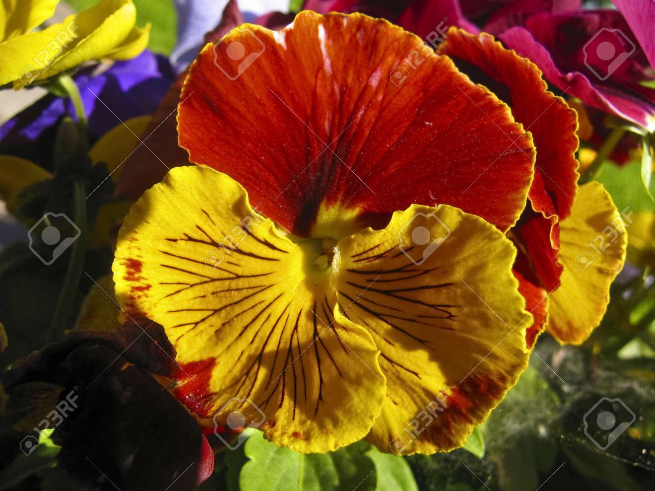 Une Fleur De Pensee Viola Tricolor De Couleurs Jaune Et Orange A