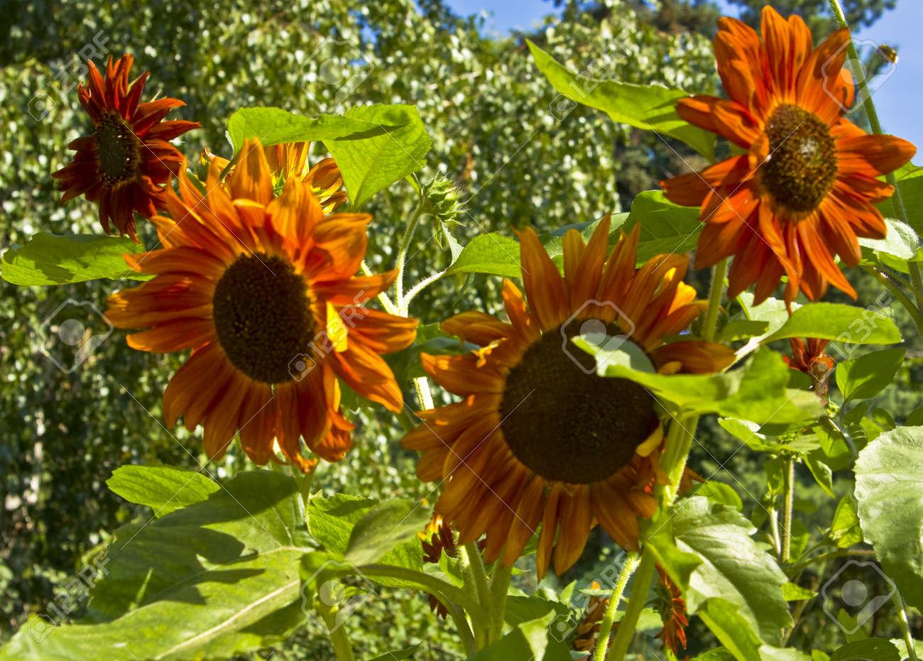 Pocas Grandes Girasoles De Color Naranja, Registraron En Los ...