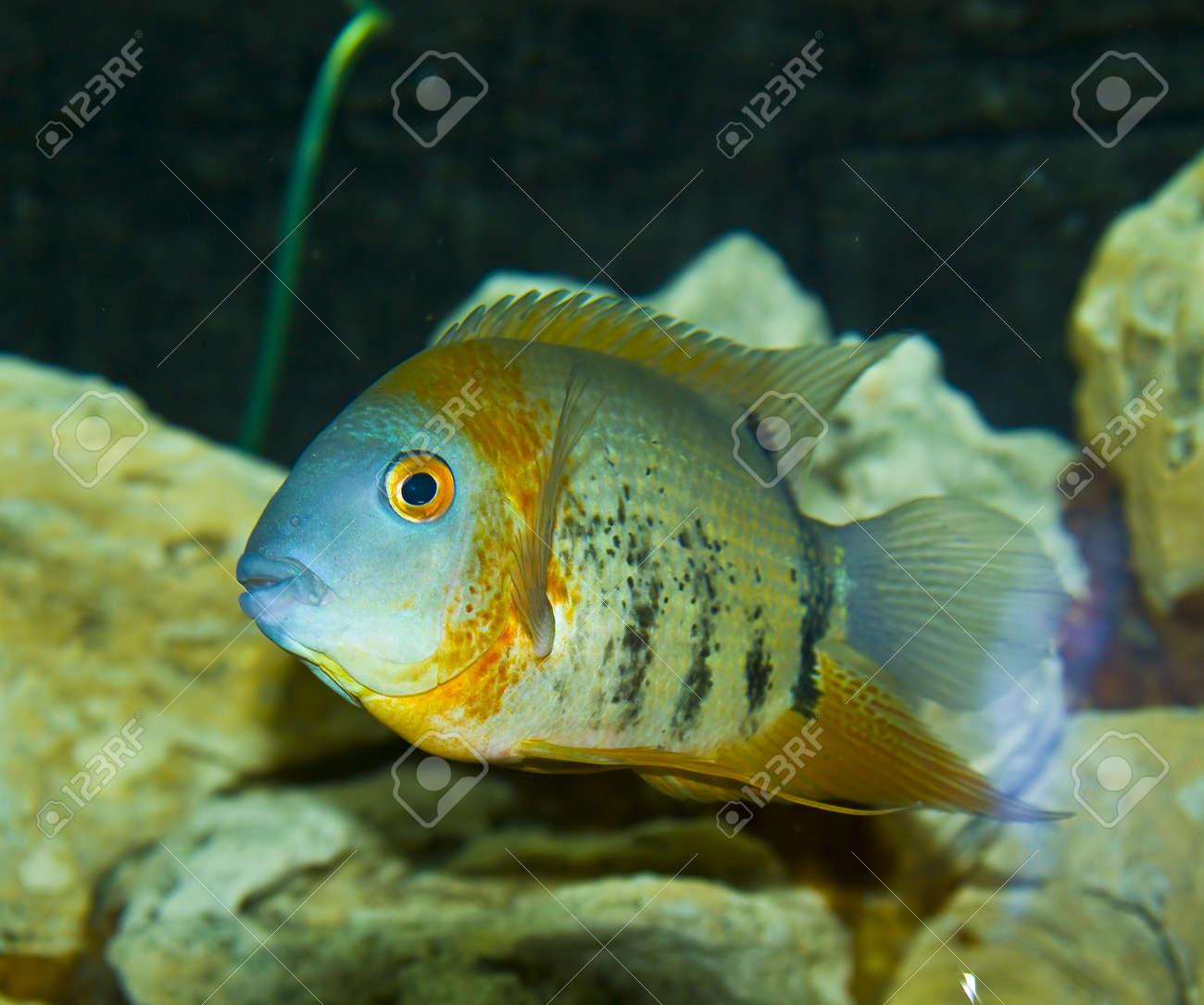 Fish for amazon aquarium - Stock Photo Tropical Fish Uaru Amphiacanthoides Cichlidae Lives In Latin America In River Amazon River Recorded In Aquarium